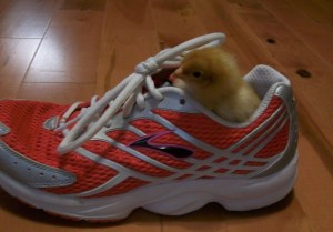 gold_chick_in_shoe