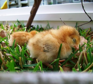 outside_chick_sleeping